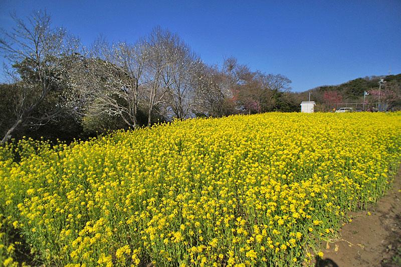 160327大楠山の菜の花畑1
