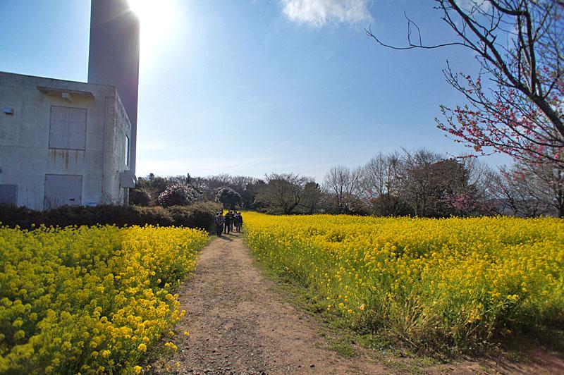 160327大楠山の菜の花畑2