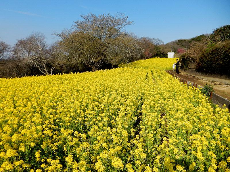 160327大楠山の菜の花畑4