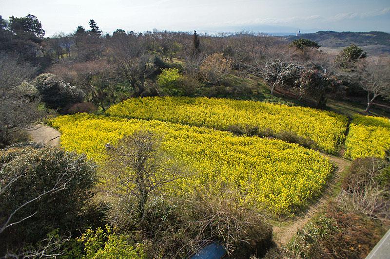 160327大楠山の菜の花畑6