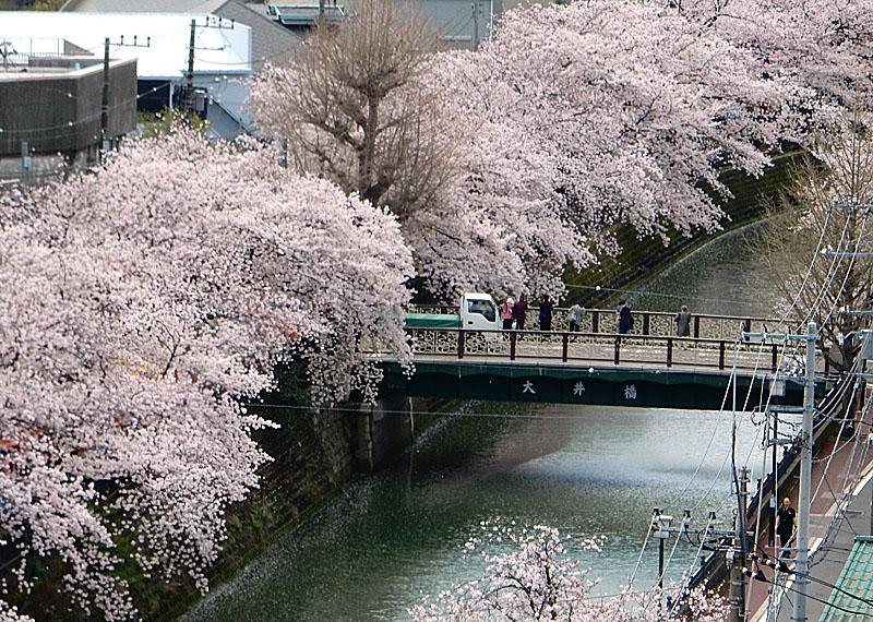 160402大岡川桜並木,昼休み2