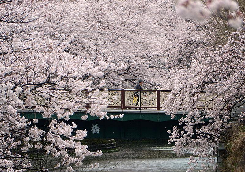 160402大岡川桜並木,昼休み3