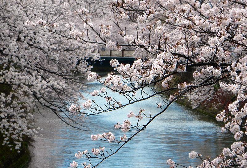160402大岡川桜並木,昼休み4