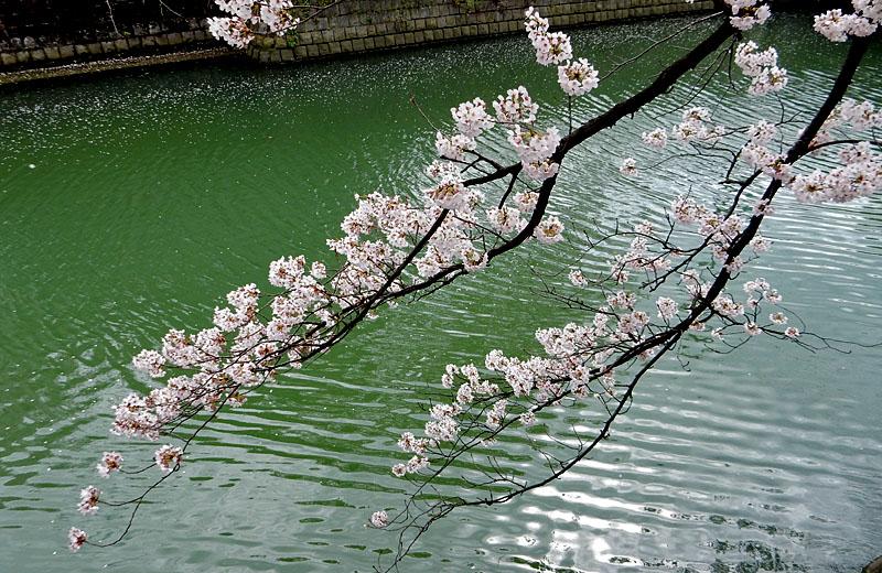 160402大岡川桜並木,昼休み5