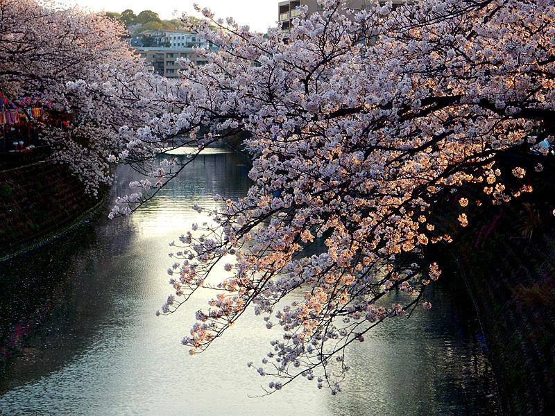 160406大岡川桜並木,黄昏編1