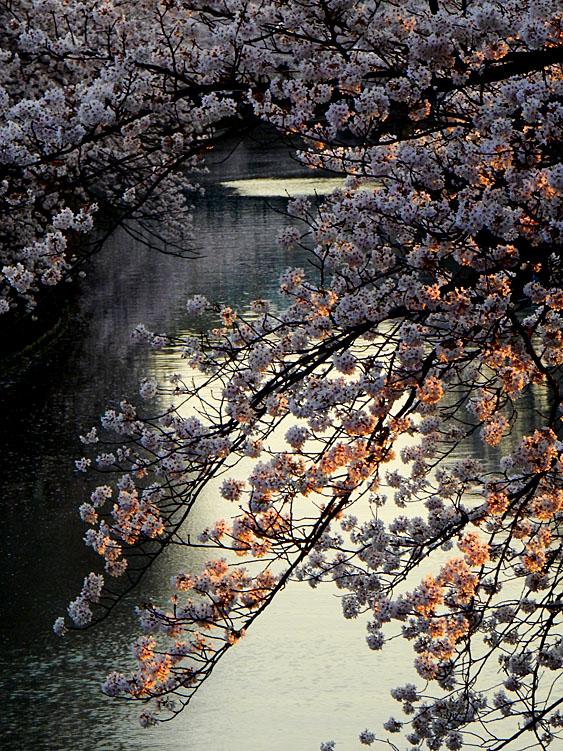 160406大岡川桜並木,黄昏編2
