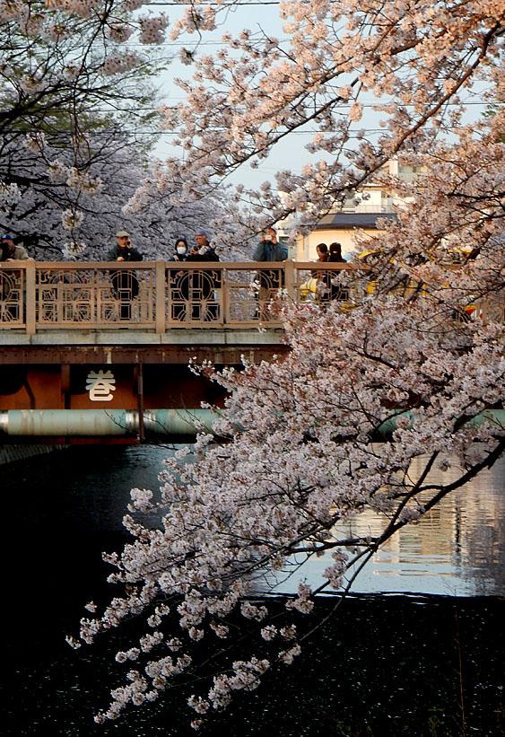 160406大岡川桜並木,黄昏編4