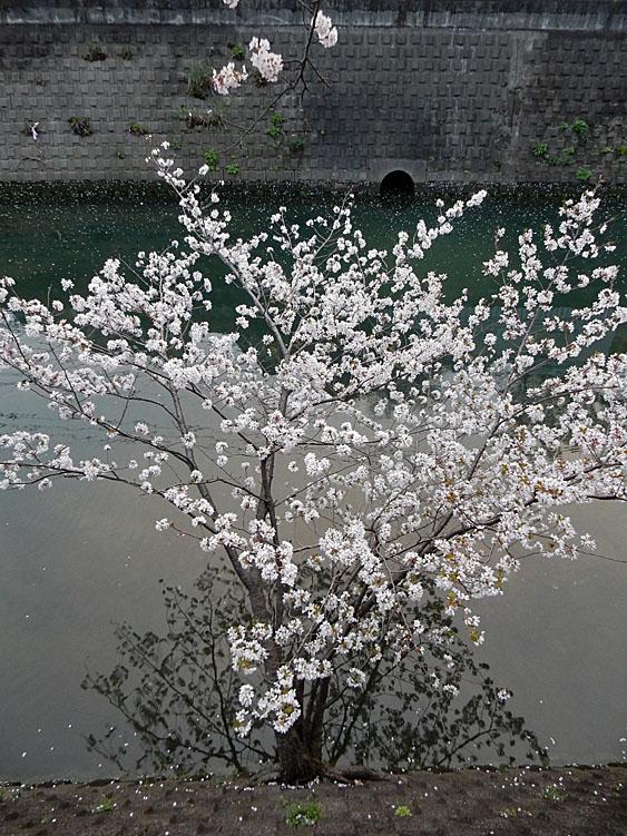 160406大岡川桜並木,黄昏編5