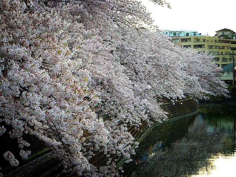 160406大岡川桜並木,黄昏編6
