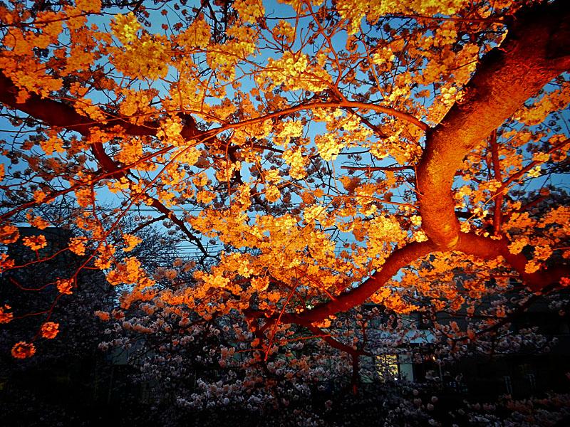 160406大岡川桜並木,黄昏編8