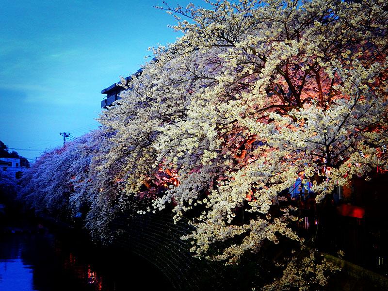 160406大岡川桜並木,黄昏編9