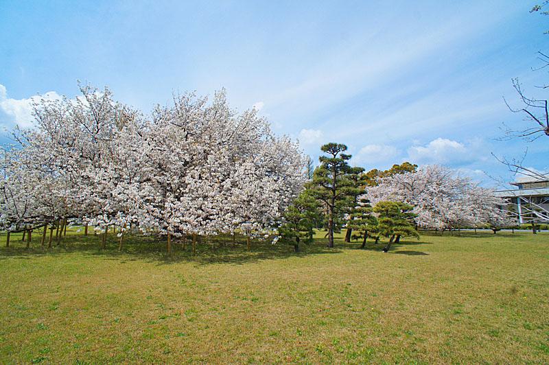 160409防衛大学の桜 右近左近(三浦半島一の桜)1
