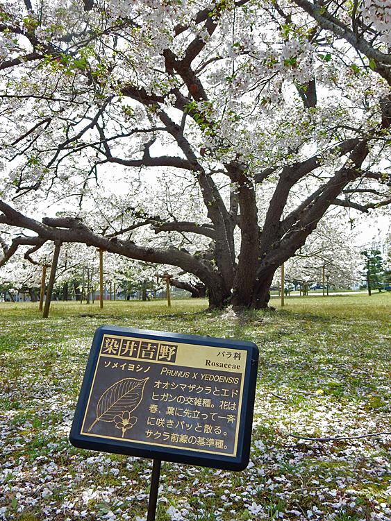 160409防衛大学の桜 右近左近(三浦半島一の桜)3