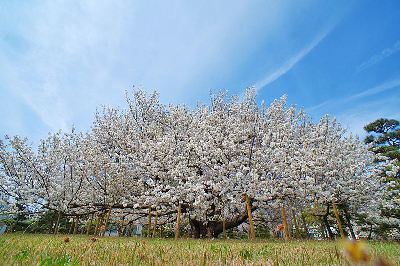 160409防衛大学の桜 右近左近(三浦半島一の桜)4