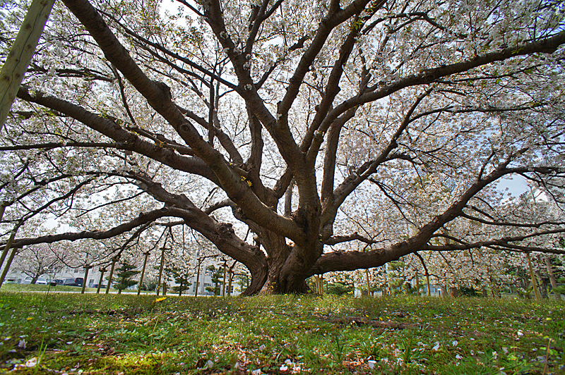 160409防衛大学の桜 右近左近(三浦半島一の桜)7