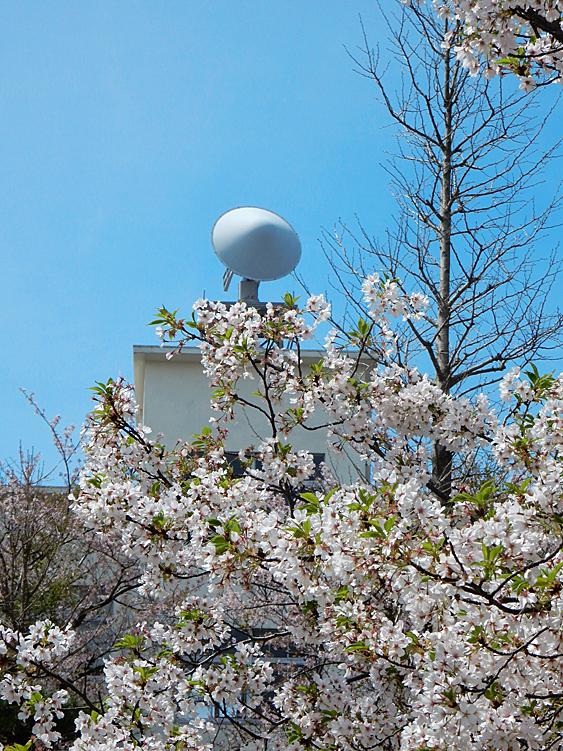 160409防衛大学の桜 右近左近(三浦半島一の桜)10