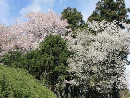 山桜 2016