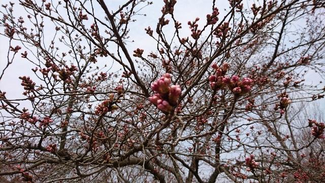 ①桜640