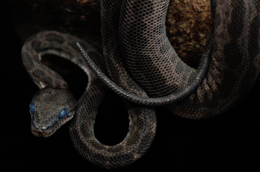 アマゾンツリーボア・ブラックレオパード Corallus hortulanus hortulanus (possible Leopard Phase)