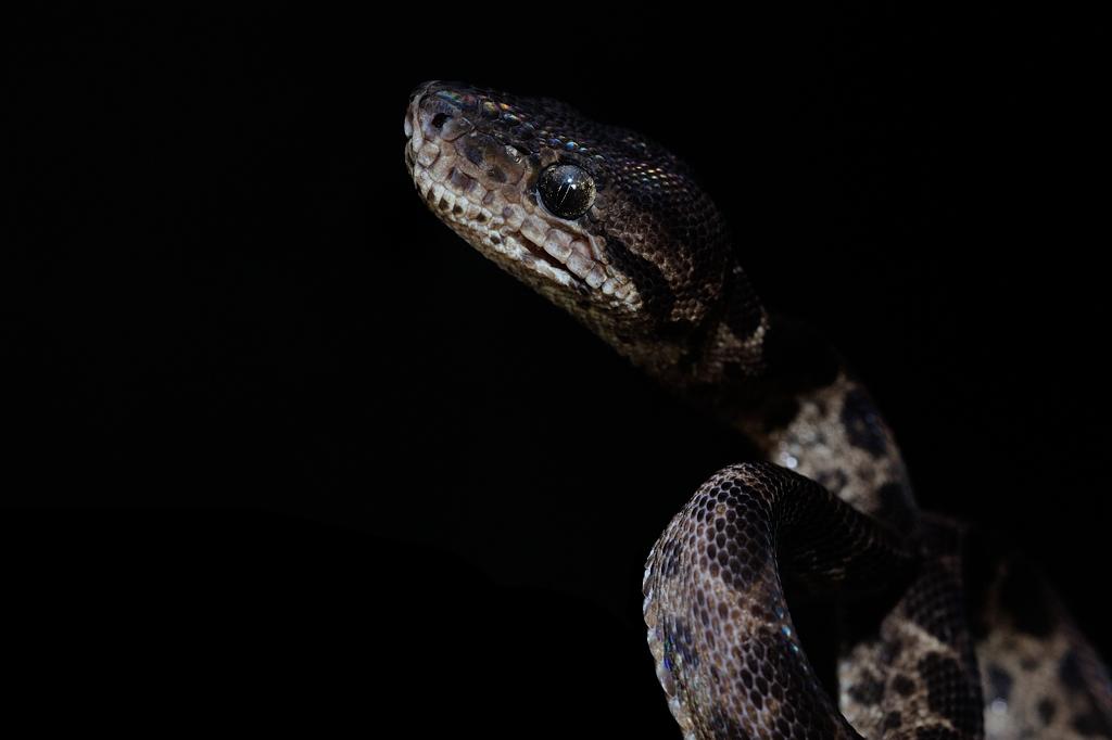 アマゾンツリーボア・ブラックレオパード Corallus hortulanus (Leopard Phase)