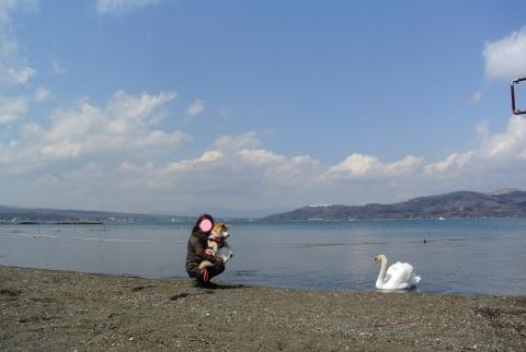 山中湖の白鳥さんと