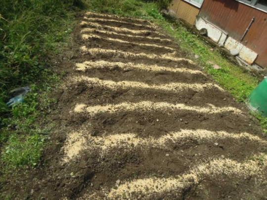 六条大麦の栽培 H2710
