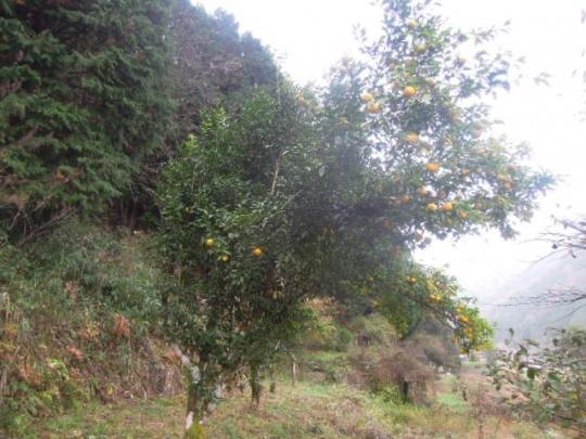 柚子の収獲 201511