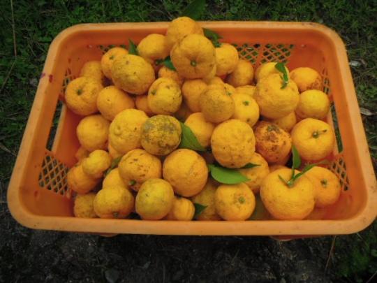 柚子の収獲2 201511
