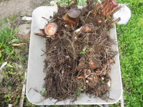 海老芋(里芋)の収穫 20151122