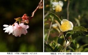 十月桜、チャノキ