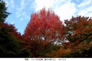 ハナノキ紅葉