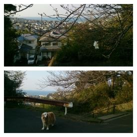 20160330桜