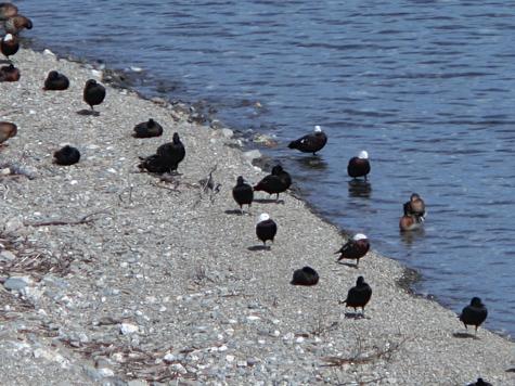 羊の国のラブラドール絵日記シニア!!「パラダイス・ダックのビーチ」2