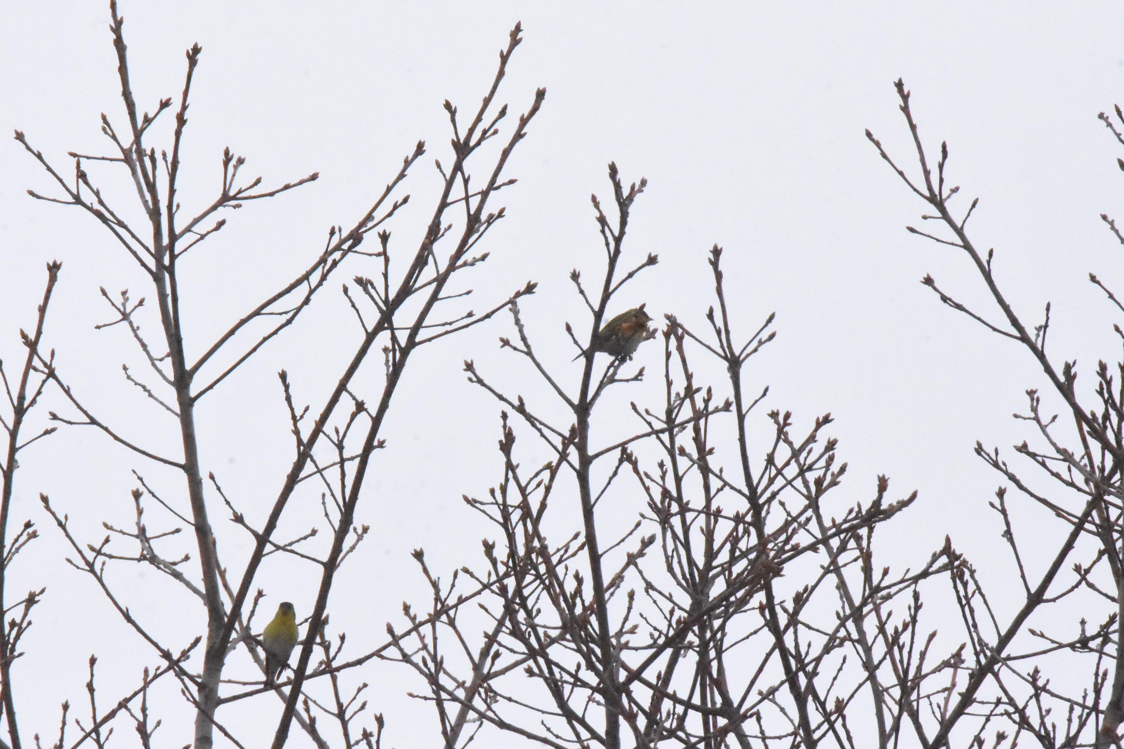 マヒワ 6羽の群れ