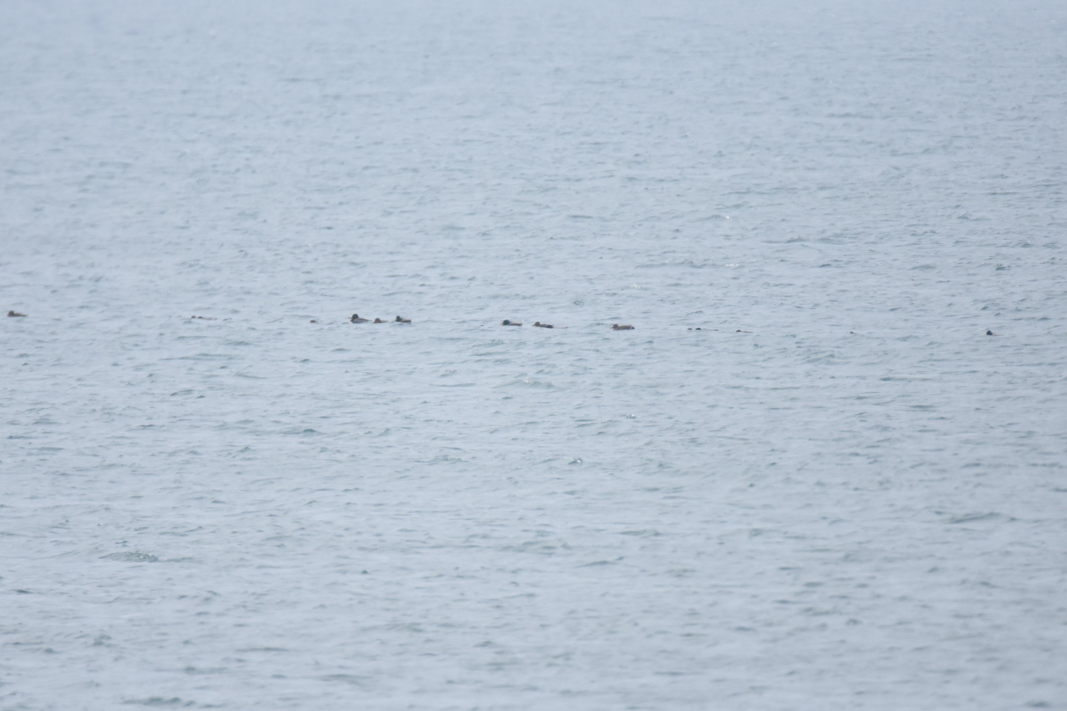 海に浮くマガモの群れ
