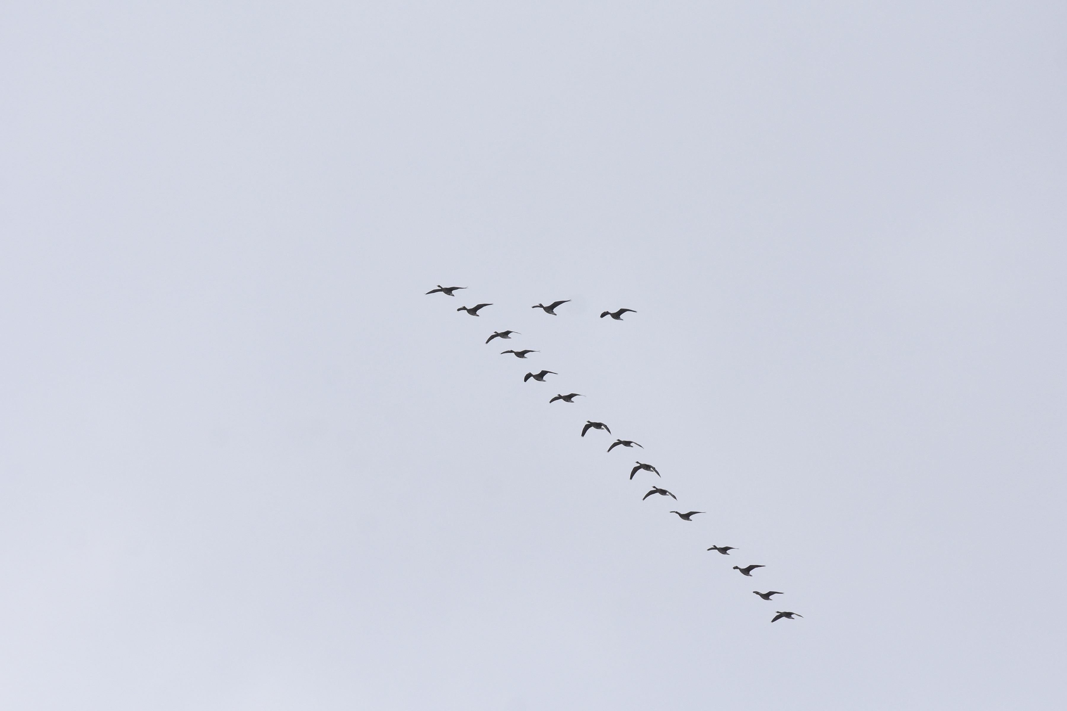 マガン 飛翔2