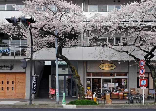 本牧珈琲の桜web (2)