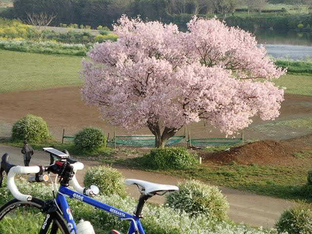 AMお花見サイクリング (11)