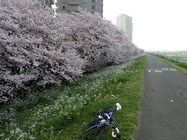 AMお花見サイクリング (7)