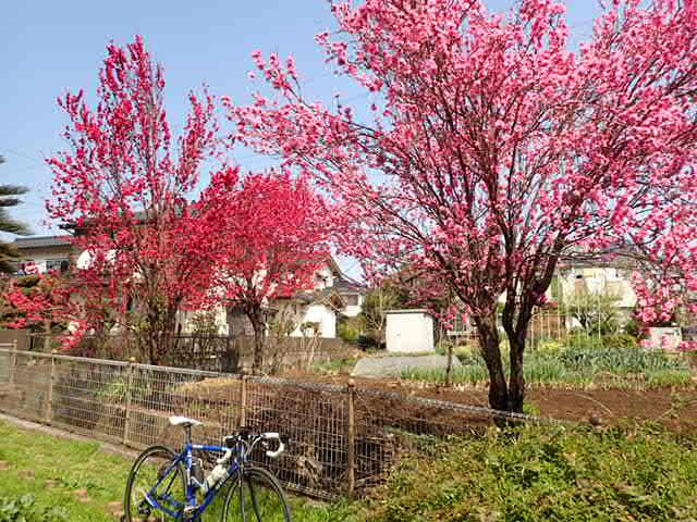 AMお花見サイクリング (22)