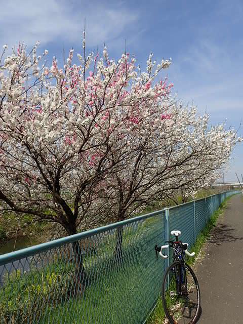 AMお花見サイクリング (26)