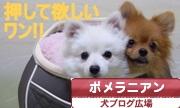犬ブログ広場 ポメラニアン