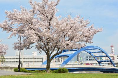 汐入公園の桜
