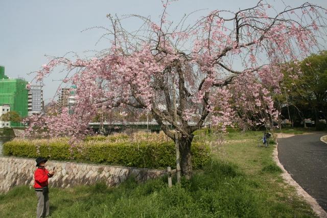 IMG_2995 しだれ桜(640x427)