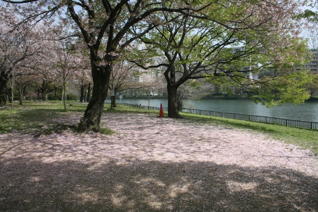 IMG_3049 散った桜(640x427)