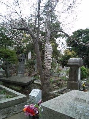 SH3I0968シドモア桜-1