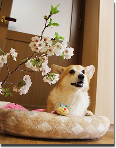 桜とハニー1