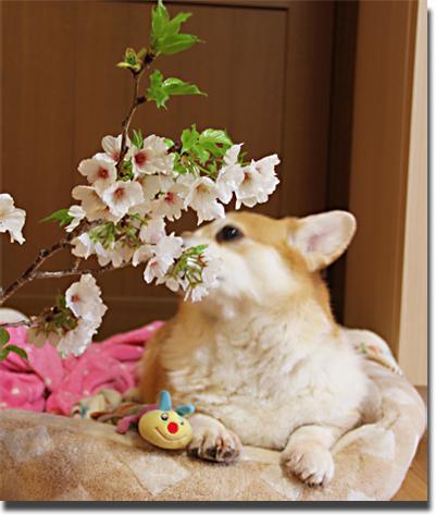 桜をクンクン