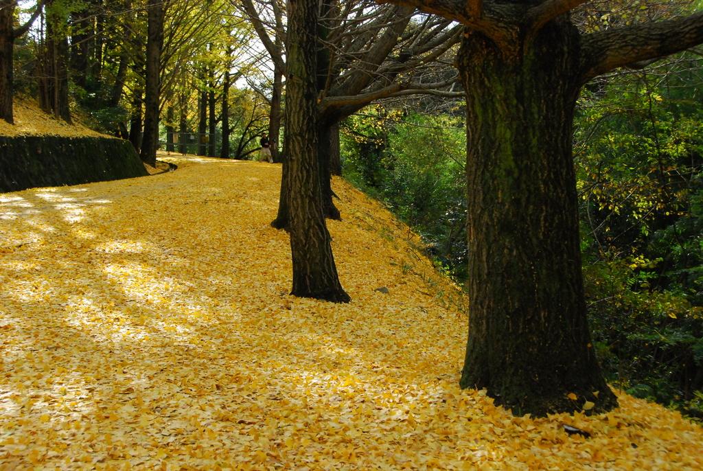 黄色い落葉