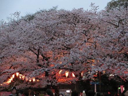 上野の夜桜